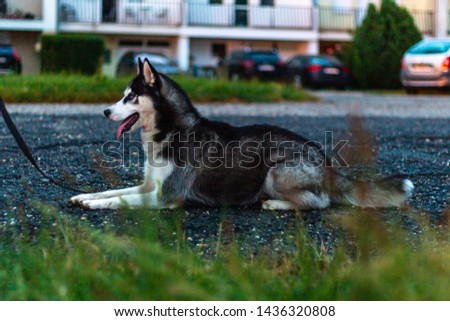 Siberian husky in an urban environment. #1436320808