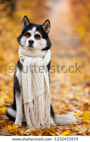 Siberian Husky in the fall sits in sunglasses and a scarf in yellow leaves.