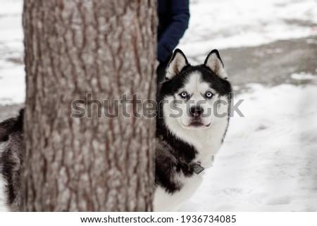 Siberian husky in the park behind the derek Stock fotó ©