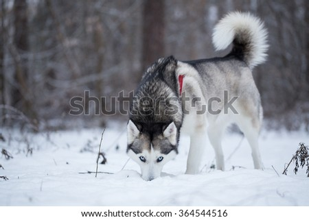 Siberian Husky in winter forest. Dog is looking for fresh tracks.