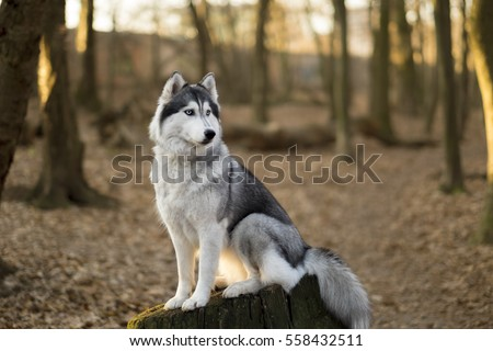 Siberian husky is sitting on the tree in spring forest