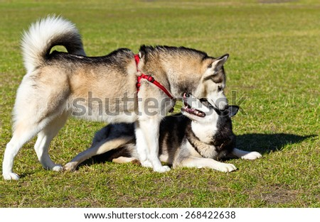 Siberian Husky is sniffing another dog. Black Siberian Husky obediently lying on his stomach.