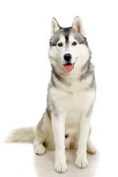 Siberian Husky isolated on the white background