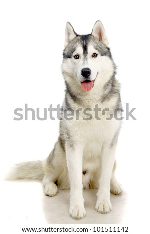 Siberian Husky isolated on the white background