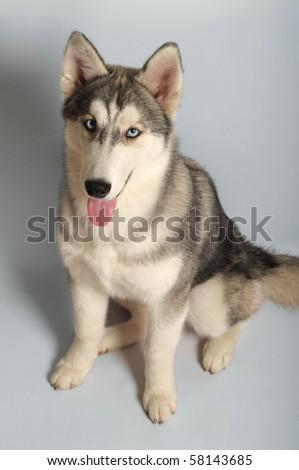 Siberian husky, 4 months old