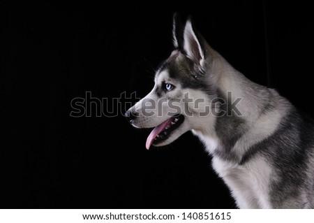 Siberian Husky on a black background