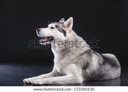siberian husky on black background