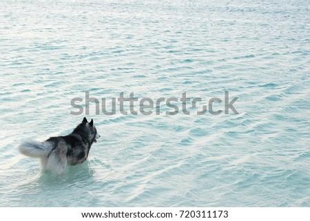siberian husky on the beach