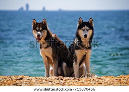 siberian husky on the beach....