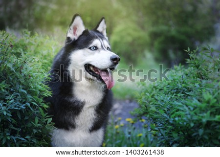 Siberian husky portrait in a beautiful spring/summer park. Blue eyed black and white dog. Toned picture with bokeh.
