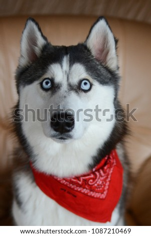 siberian husky posing for pictures