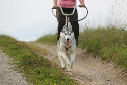 siberian husky pulling the bike