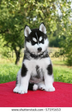 Siberian Husky Puppies on Husky Puppy On Newborn Siberian Husky Puppy Find Similar Images