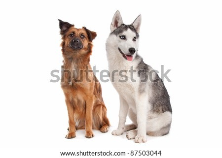Siberian Husky puppy and a mixed breed dog in front of a white background