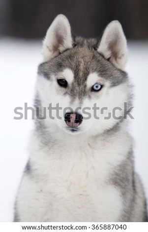 Siberian Husky Puppy In The Snow Ez Canvas