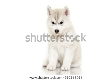 siberian husky puppy isolated...