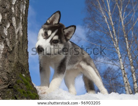 Siberian Husky Puppy 3 months old