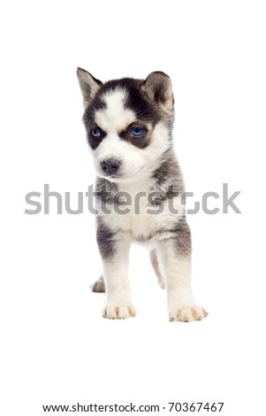 Siberian Husky Puppy on isolated white backgorund