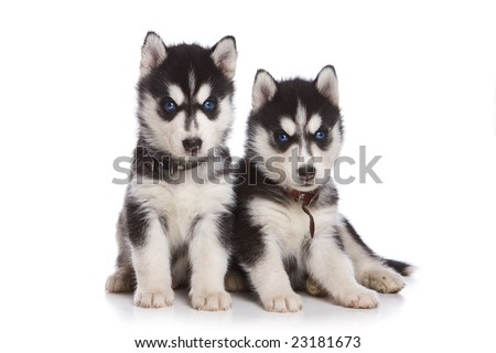 Siberian Husky puppy on white