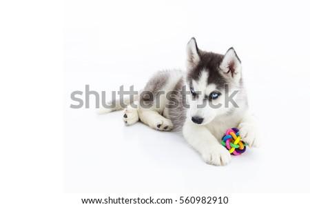 siberian husky puppy playing...