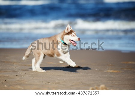 siberian husky puppy running on ...