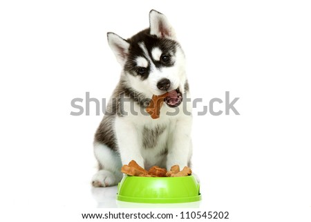Siberian Husky puppy with bone isolated on a white background