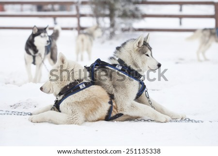 Siberian Husky resting after the ride in the snow