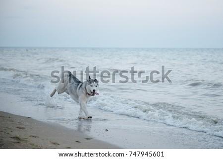 siberian husky running on a...