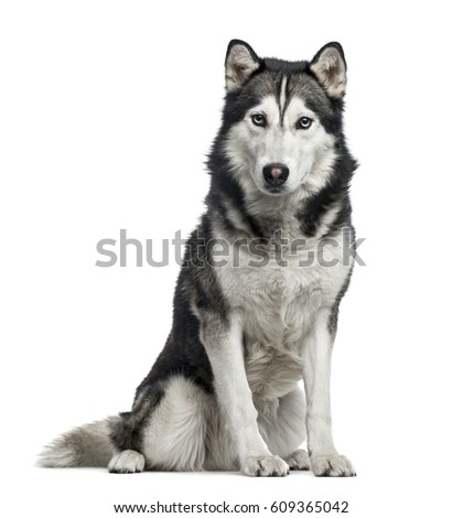 Siberian Husky sitting, 4 years old , isolated on white