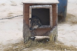 Siberian Husky Sled Dog looking forlornly out of it's kennel on a very cold wintery day in the far north
