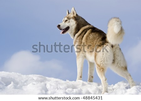 Siberian husky stands at snow mountain top