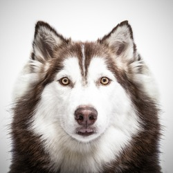 siberian husky studio shoot.
