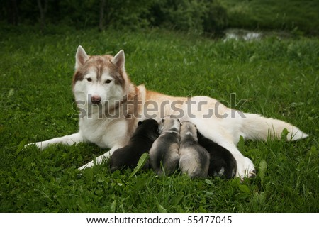 Siberian Husky with a litter of pups