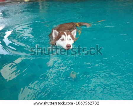siberian husky with yellow rope swimming in the pool #1069562732