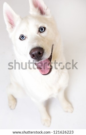 Siberian husky, 3 years old, sitting in front of white background