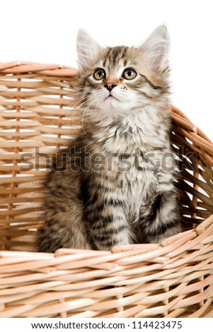 Siberian kitten isolated on the white background
