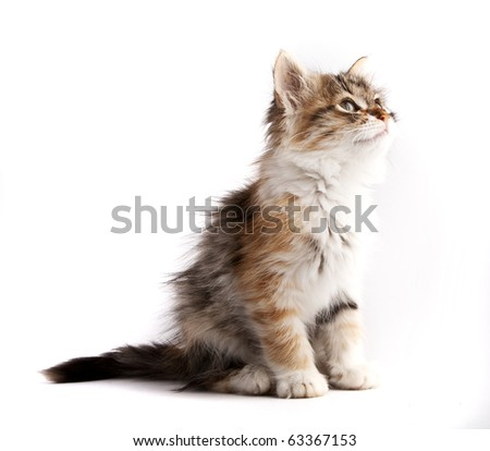 Siberian kitten, looking up