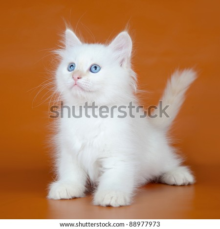 Siberian kitten on orange background