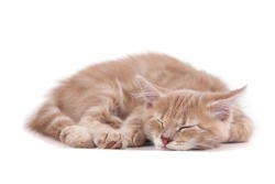 Siberian kitten on white background. Cat sleeps.