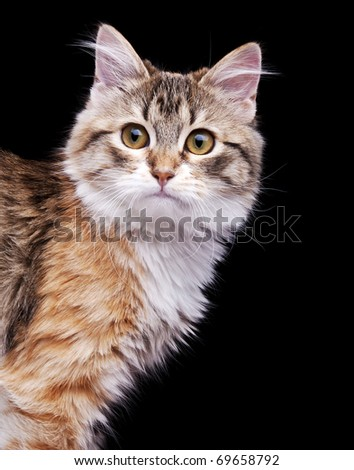 Siberian kitten sitting on black background