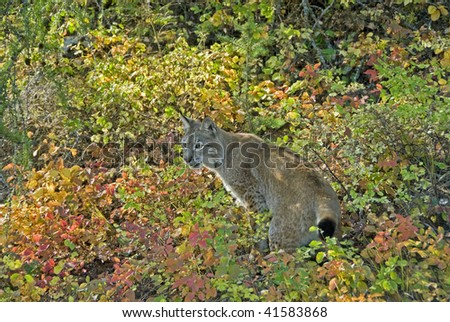 Siberian Lynx in autumn foliage.