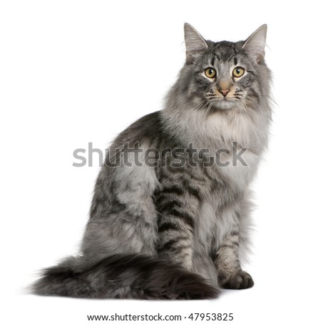 Siberian  (8 months old) in front of a white background