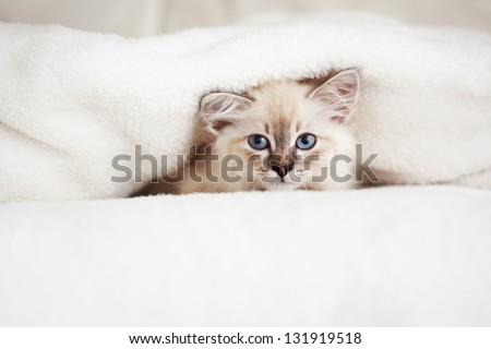 Siberian Neva Masquerade kitten lying on a soft bad