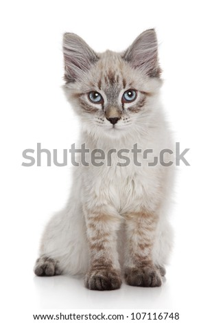 Siberian (Neva Masquerade) kitten on a white background