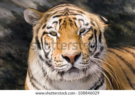 Siberian or Amur tiger (Panthera tigris altaica)