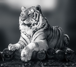 Siberian or Amur tiger with black stripes lying down on wooden deck. Full size grayscale portrait. Black and white with blurred background. Wild animals watching, big cat