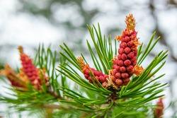 Siberian pine. Blooming pine cones.