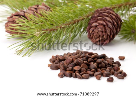 Siberian pine nuts and needles branch on white background