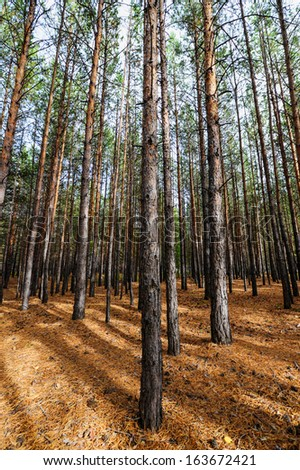 Siberian Pine Tree Forest at the beginning of Autumn. Ground scattered with pine cones and dry needles.
