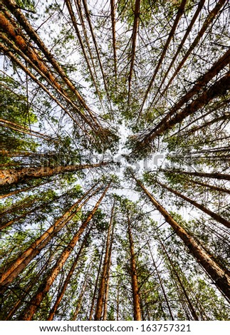 Siberian Pine Tree Forest at the beginning of Autumn. Wide-angle view of tree tops into the sky.